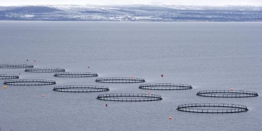 Salmon in breeding or wild salmon?